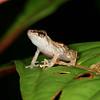 Rio San Juan - Tink Frog (Diasporis diastema) at Sabalos Lodge