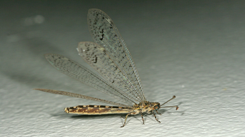 Big Corn Island - An unidentified Antlion (Myrmeleontidae)