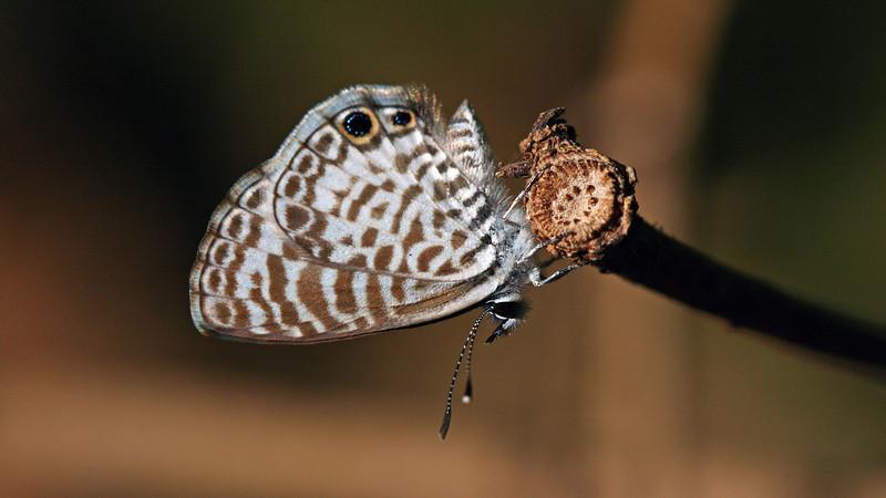 Montibelli - Cassius Blue (Leptotes cassius)