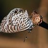 Nicaragua 2011: Montibelli - Cassius Blue (Lycaenidae: Polyommatinae:  Leptotes cassius)