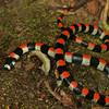 Montibelli - Harlequin Snake (Scolecophis atrocinctus)