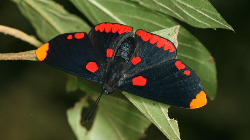 Montibelli - Pixie (Melanis pixe sanguinea)