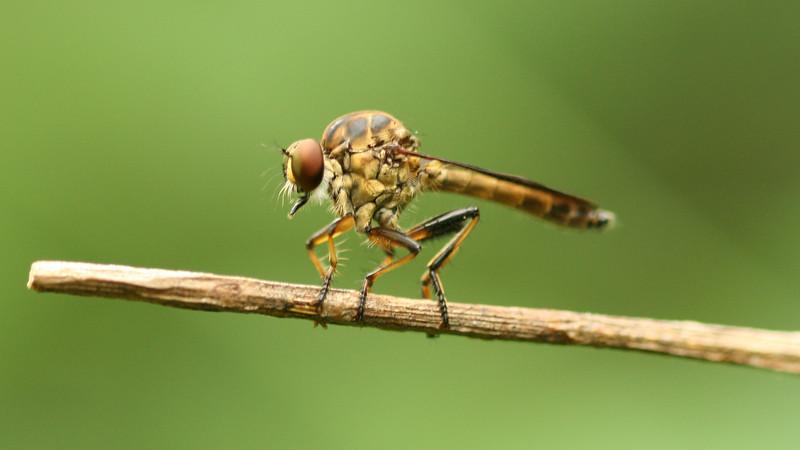 Nicaragua 2011: Montibelli - Robber Fly (Ommatius sp.)
