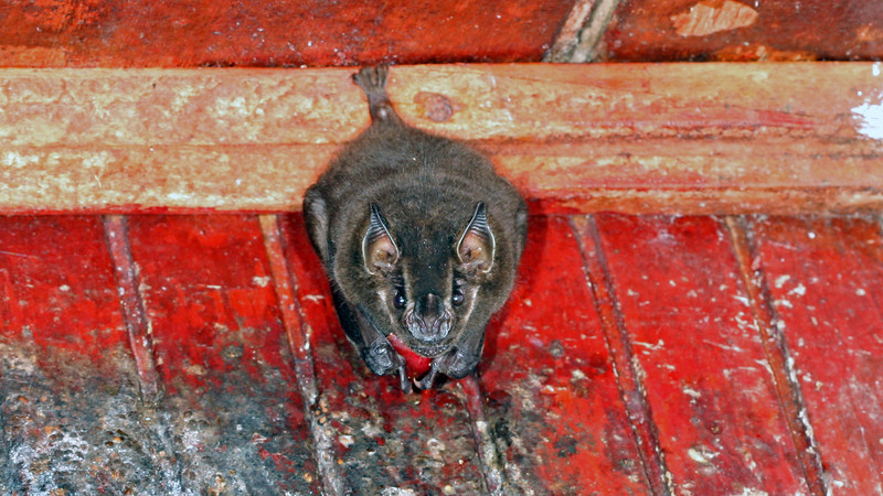 Selva Negra - Fruit Bat (Artibeus sp., possibly lituratus)