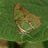 Nicaragua 2011: Montibelli - Malachite (Siproeta stelenes)