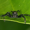 Big Corn Island - An unidentified Jumping Spider (Salticidae)