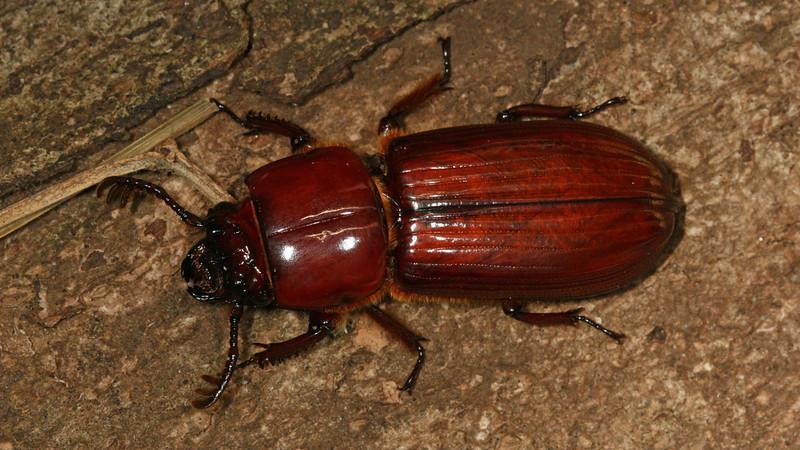 Montibelli - Bess Beetle (Passalidae) newly emerged adult found inside a freshly cut log