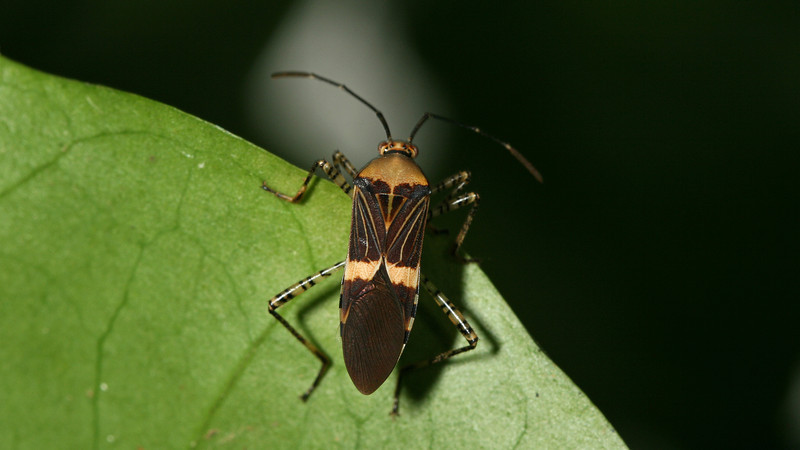 Montibelli - Leaf-footed Bug (Hypselonotus intermedius)
