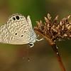 Big Corn Island - Ceraunus Blue (Lycaenidae: Polyommatinae: Hemiargus ceraunus astenidas)