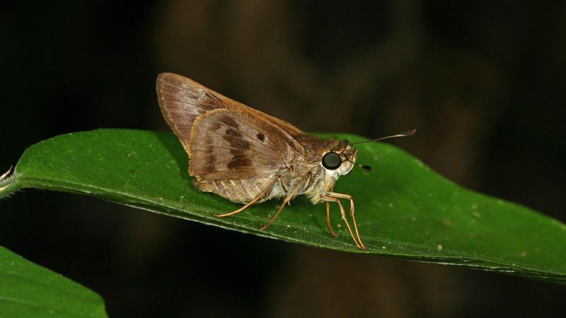 Montibelli  - Violet-banded Skipper (Nyctelius nyctelius)