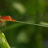 Nicaragua 2011: Big Corn Island - Rambur's Forktail (Ischnura ramburii) female