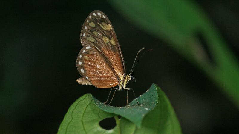 Montibelli - Tolosa Tigerwing (Napeogenes tolosa)