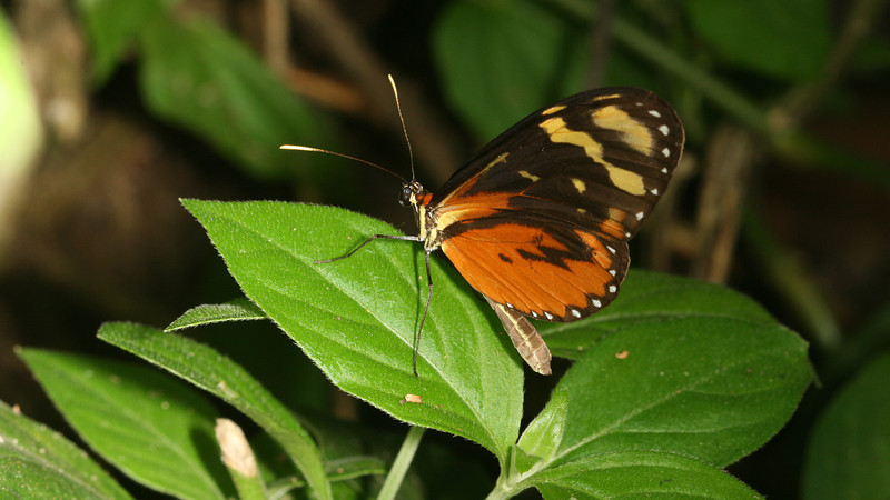 Nicaragua 2011: Montibelli - Polymnia Tigerwing (Mechanitis polymnia)
