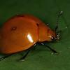 Nicaragua 2011: Rio San Juan - Pleasing Fungus Beetle at Sabalos Lodge (Erotylidae: Erotylinae: Aegithus sp.)
