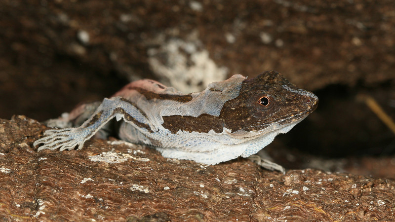 Montibelli - Unidentified lizard shedding its skin