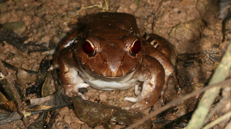 Rio San Juan - Smoky Jungle Frog (Leptodactylus savagei) at Sabalos Lodge