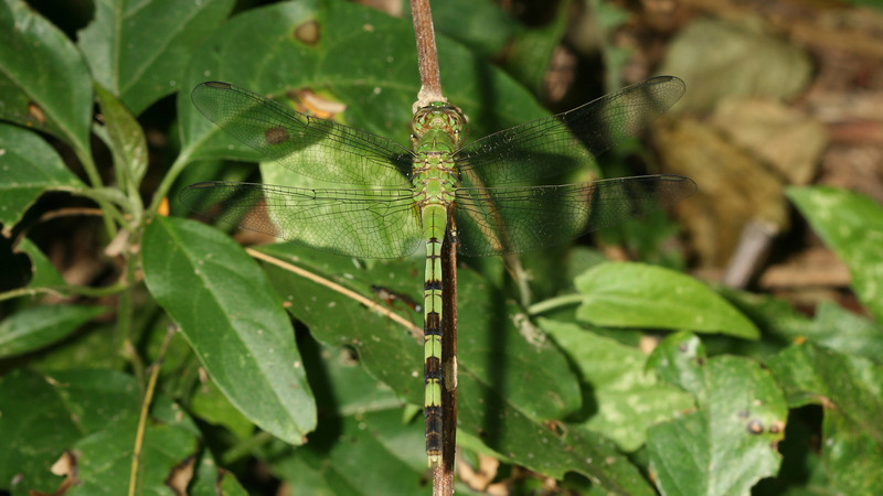 Montibelli - Great Pondhawk (Erythemis vesiculosa) female