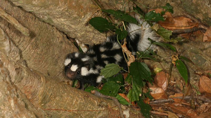 Montibelli - Young Spotted Skunk (Spilogale putorius)