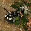 Montibelli - Young Spotted Skunk (Spilogale putorius)