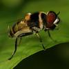 Rio San Juan -Eristaline Syrphid Fly (Palpada sp.) at Sabalos Lodge