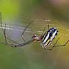 Big Corn Island - Orchard Spider (Tetragnathidae Leucauge sp )