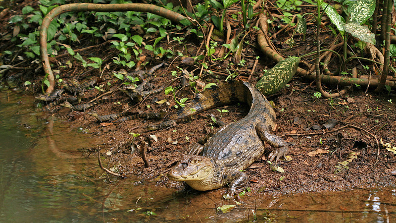 Rio San Juan - A Spectacled Caiman (Caiman crocodilus) and her brood of 18 at Sabalos Lodge (her favourite basking place was right behind our cabin)