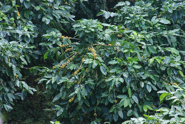 coffee plants with yellow berries which turn red when ripe