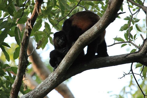 howler monkey baby with mother