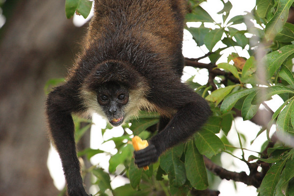 Spider Monkey on Monkey Island