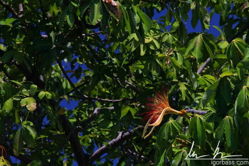 Jilincoche flower, Isletas de Granada
