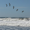 Pelicans in formation. They flew back and forth over the surf, fishing, always keeping perfectly in line.