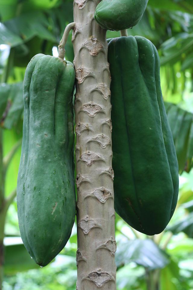 Arbeitsort 2: Für diese Papayas muss eine neue Pumpanlage gebaut werden.