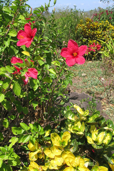 Hibiscus, back at our hotel