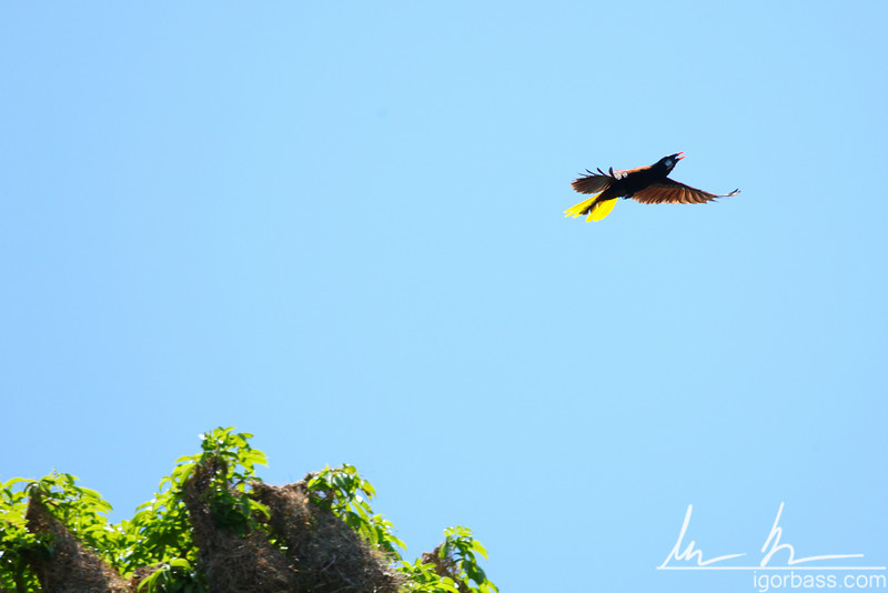 Montezuma Oropendola, and its hanging nests, Isletas de Granada