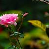 Rose, La Reserva Datanlí el Diablo