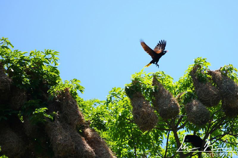 Montezuma Oropendola, and its hanging nests, Isletas de Granada