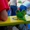 Lovebirds, El Lagartillo