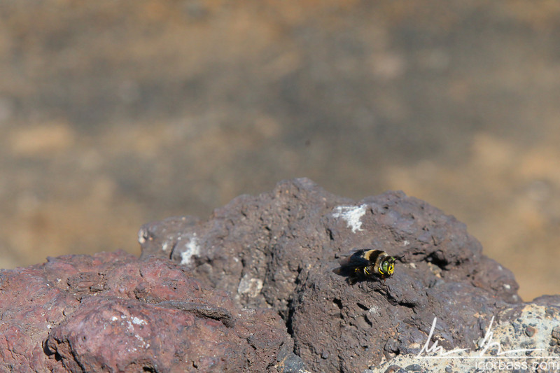 A bee, Masaya Volcano National Park
