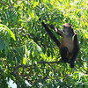 One of the inhabitants of Monkey Island, Isletas de Granada