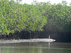Mangroves with heron.
