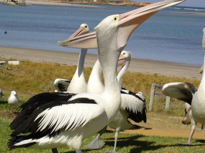 Paula the Pelican