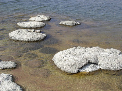 Stromatolites - The oldest living thing.