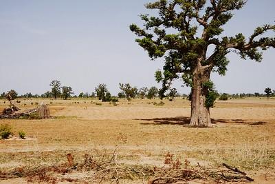 Tree (Kebbi, Nigeria)