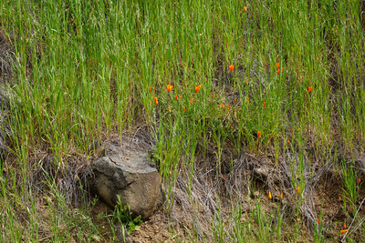Niles Canyon Railway Sunol Wildflowers