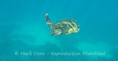 Green Turtle, Ningaloo reef, WA