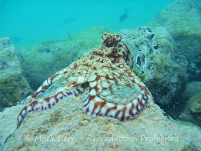 Octopus, Coral Bay, WA