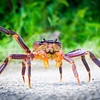 Coconut crab in South Pacific Island Niue.