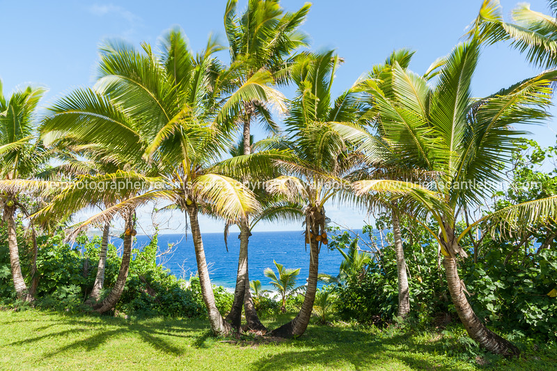 Coconut palm trees in tropical Niue