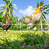 Jungle fowl roaming free
