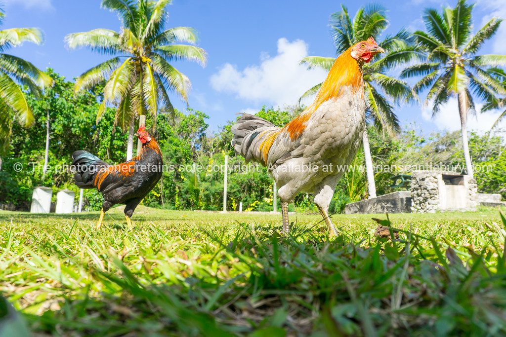Jungle fowl roaming free
